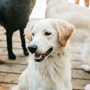 Golden Retriever at Dog Buddies Daycare