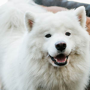 Fluffy White Dog at Dog Buddies Daycare